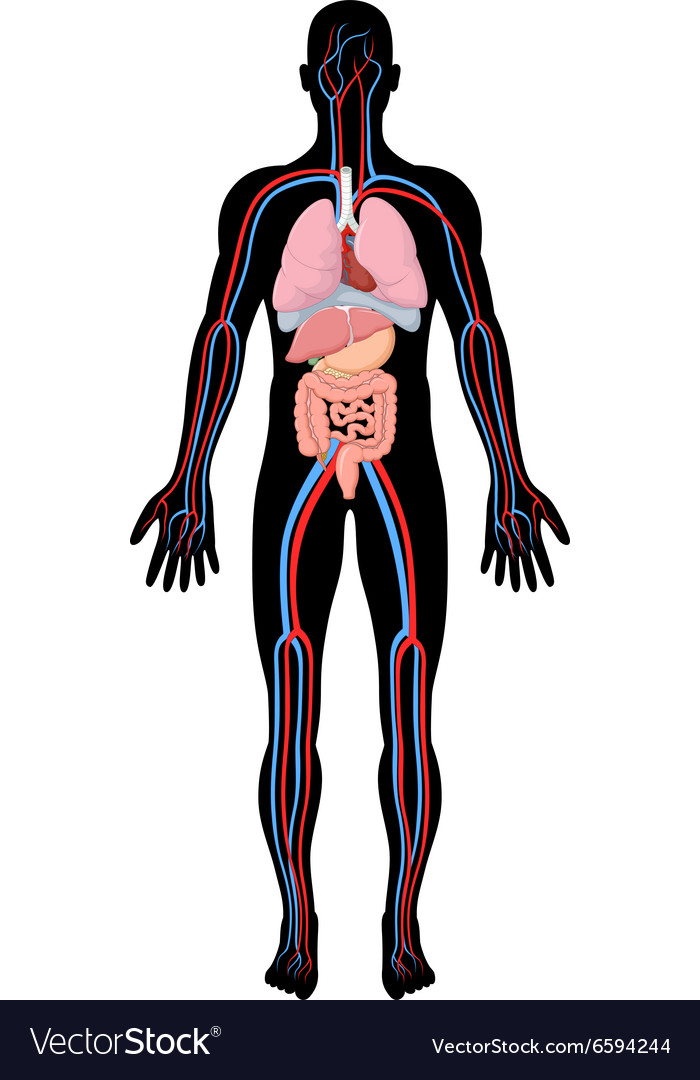 Cartoon of human body anatomy vector image