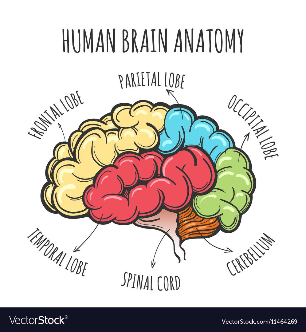 Human Brain Anatomy Sketch