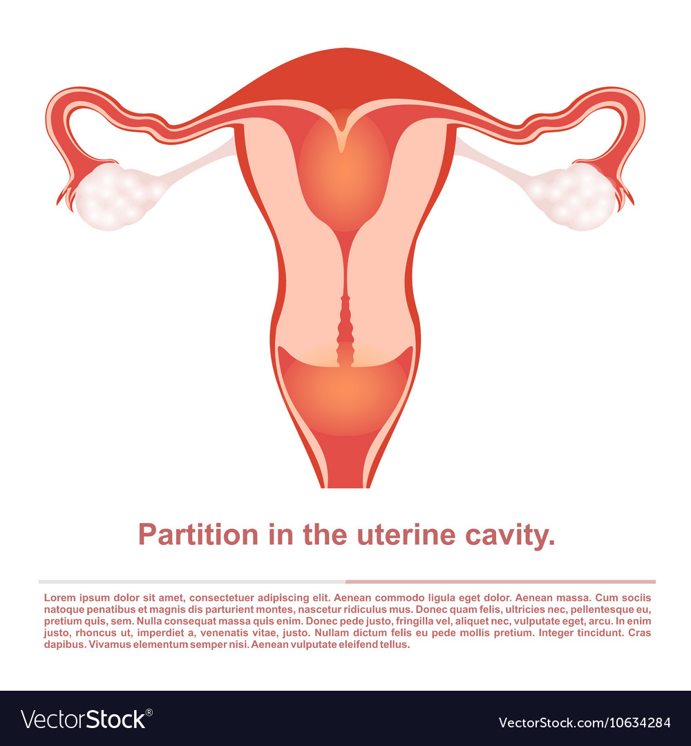 Female reproductive organ partition vector image
