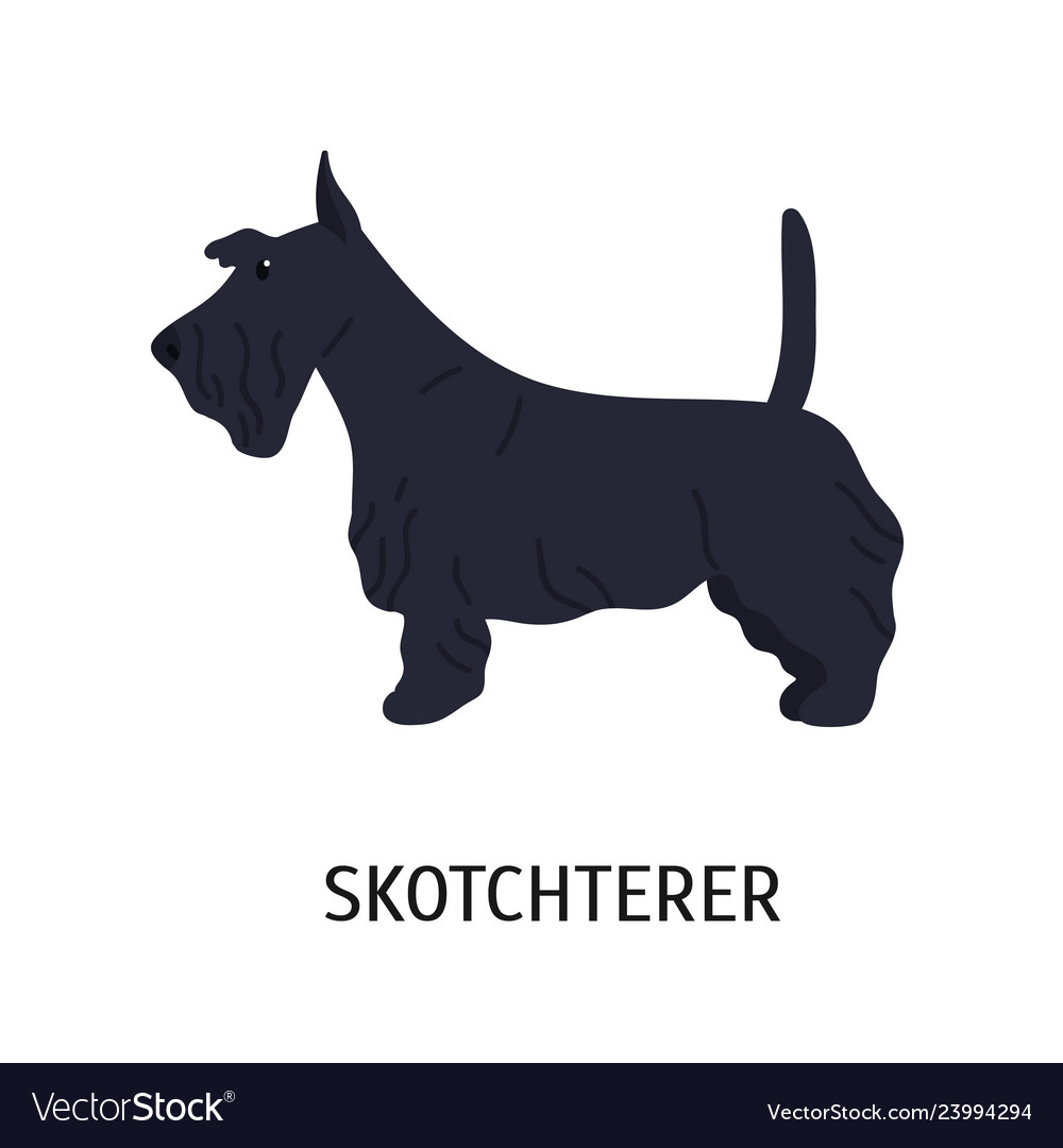 Scottish terrier or scottie adorable small dog of