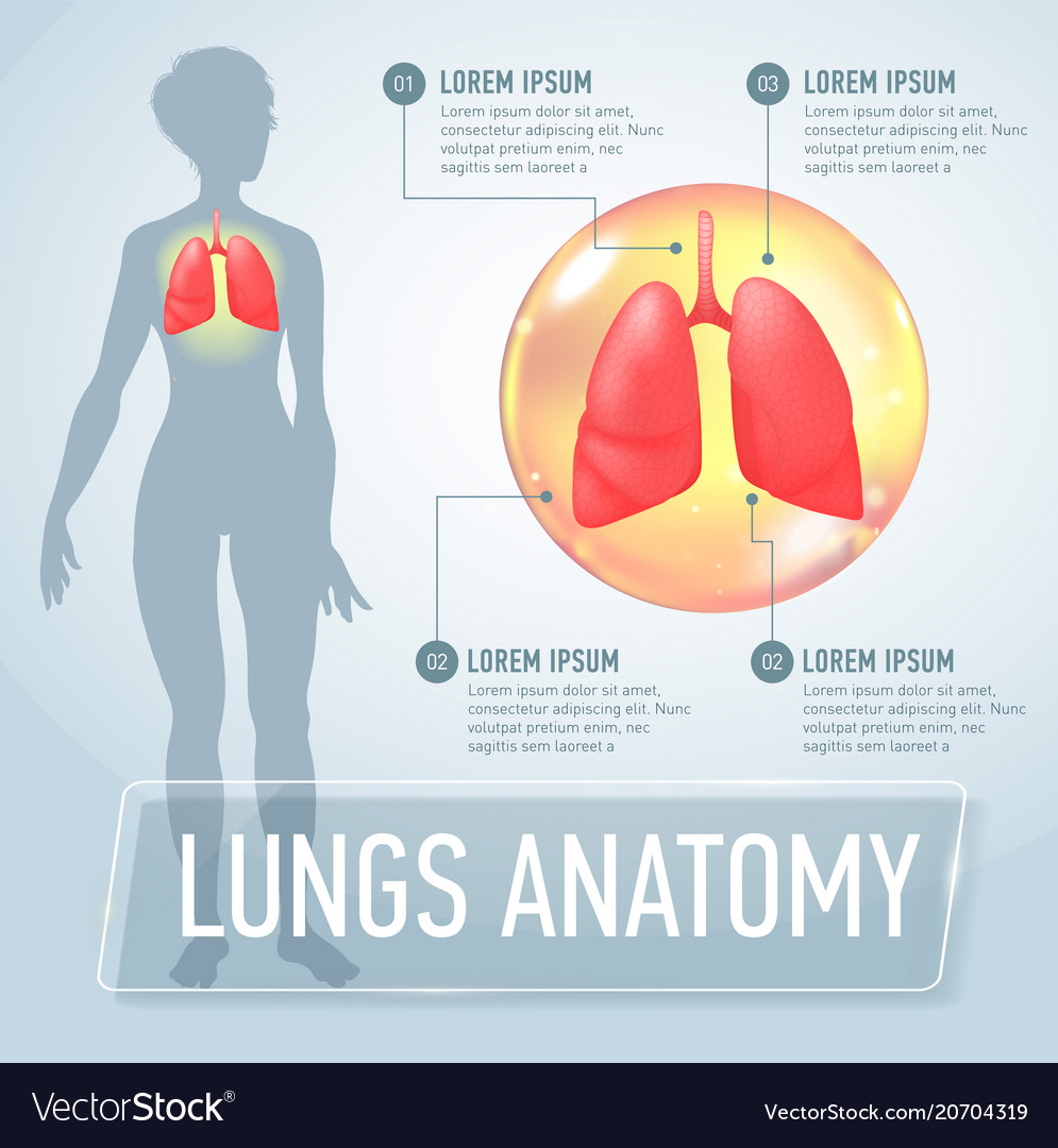 Lung modern medical infographics internal organs Vector Image