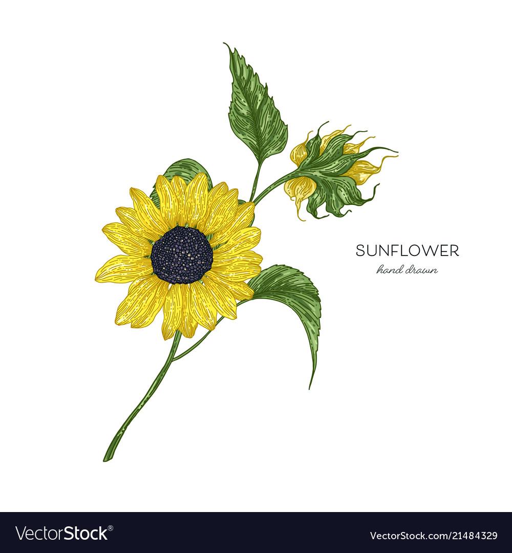 Sunflower botanical autumn