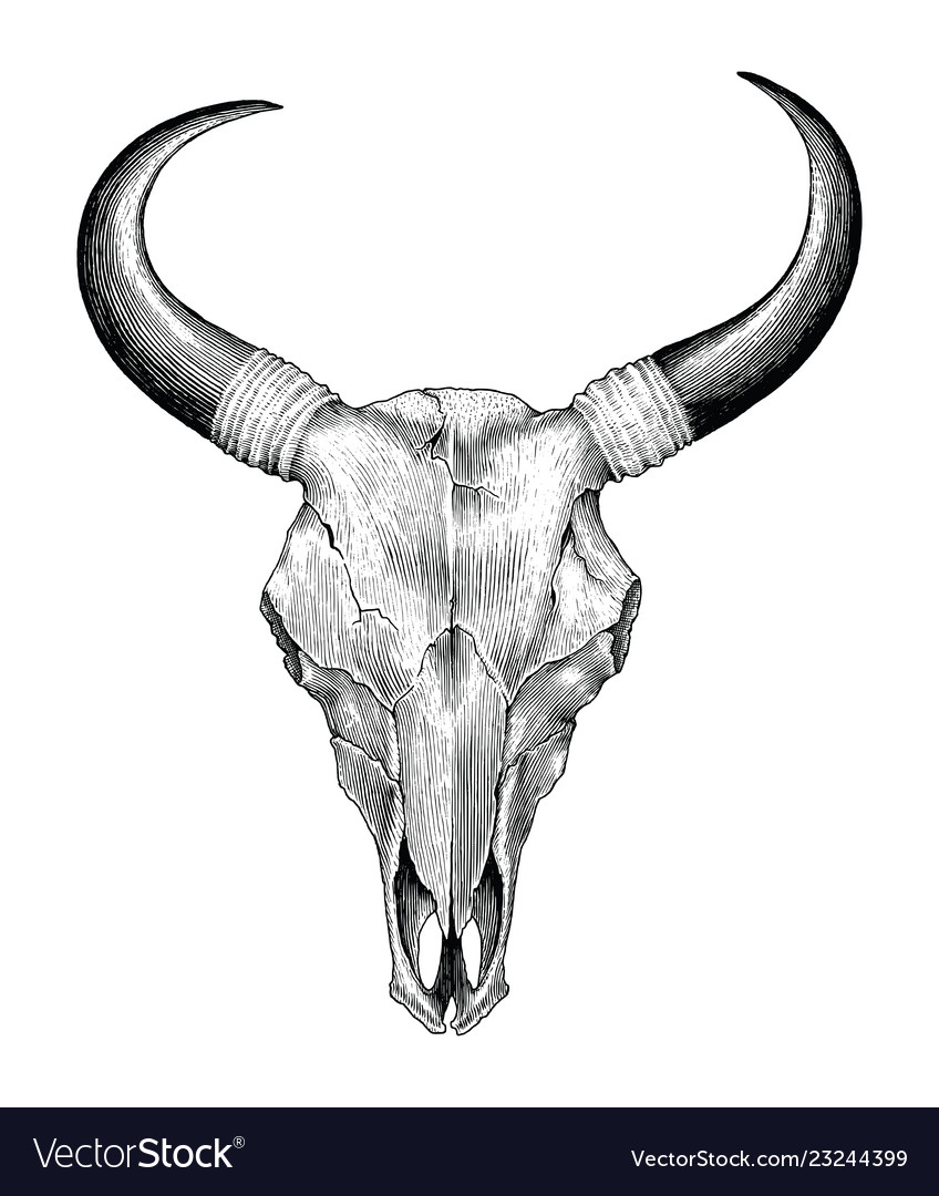 Skull cow hand drawing vintage engraving