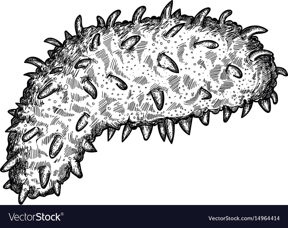 It is an image of Resource Sea Cucumber Drawing