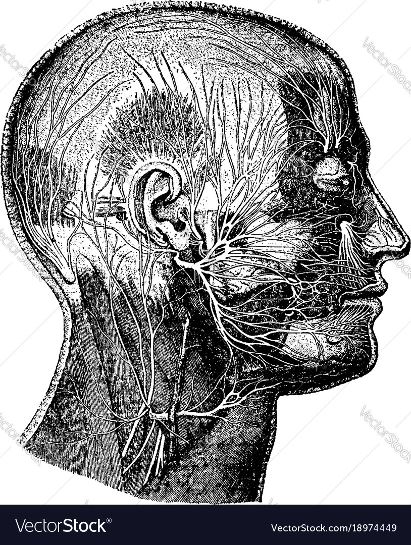 Nerves Of The Face Vintage Royalty Free Vector Image