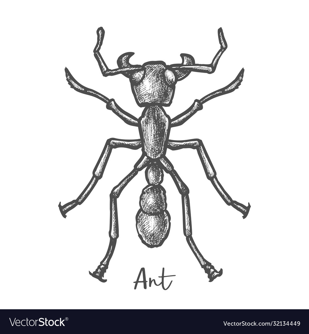 Sketch ant or hand drawn insect bug closeup