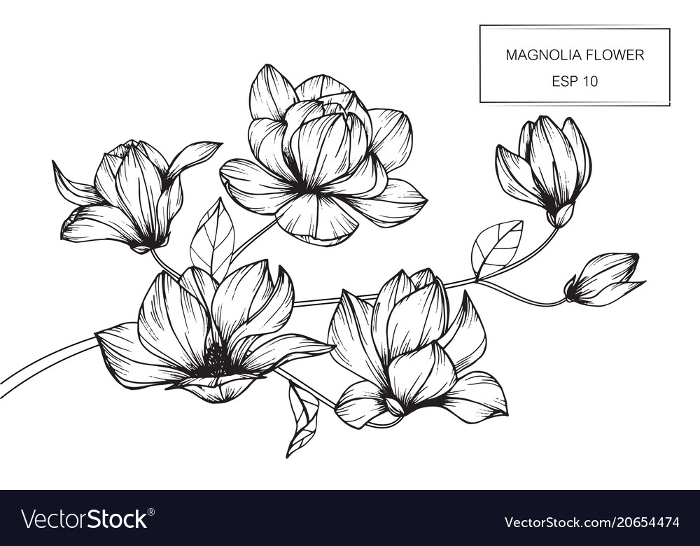 Magnolia flower drawing royalty free vector image magnolia flower drawing vector image mightylinksfo