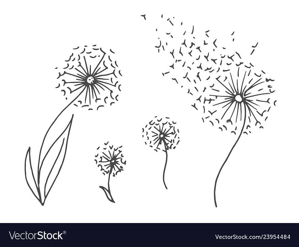 Hand drawn sketch of dandelion flower