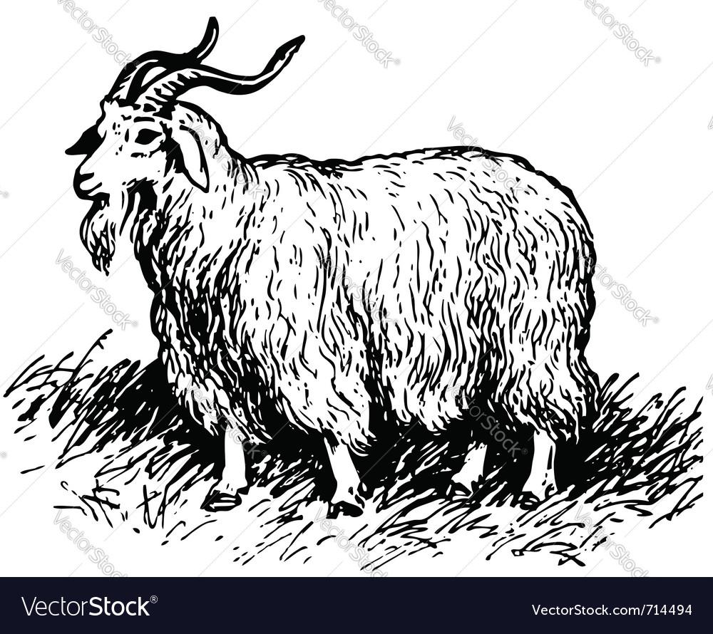 Angora goat vector image