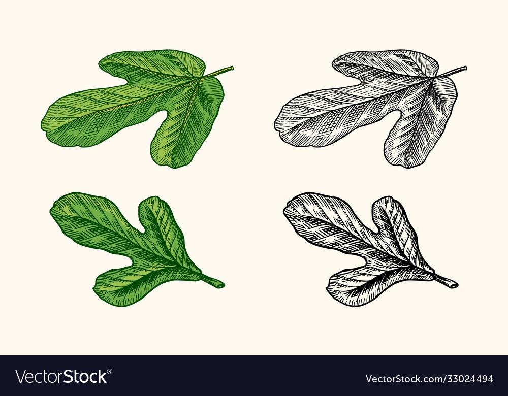 Fresh fig fruit foliage detox spice foliage