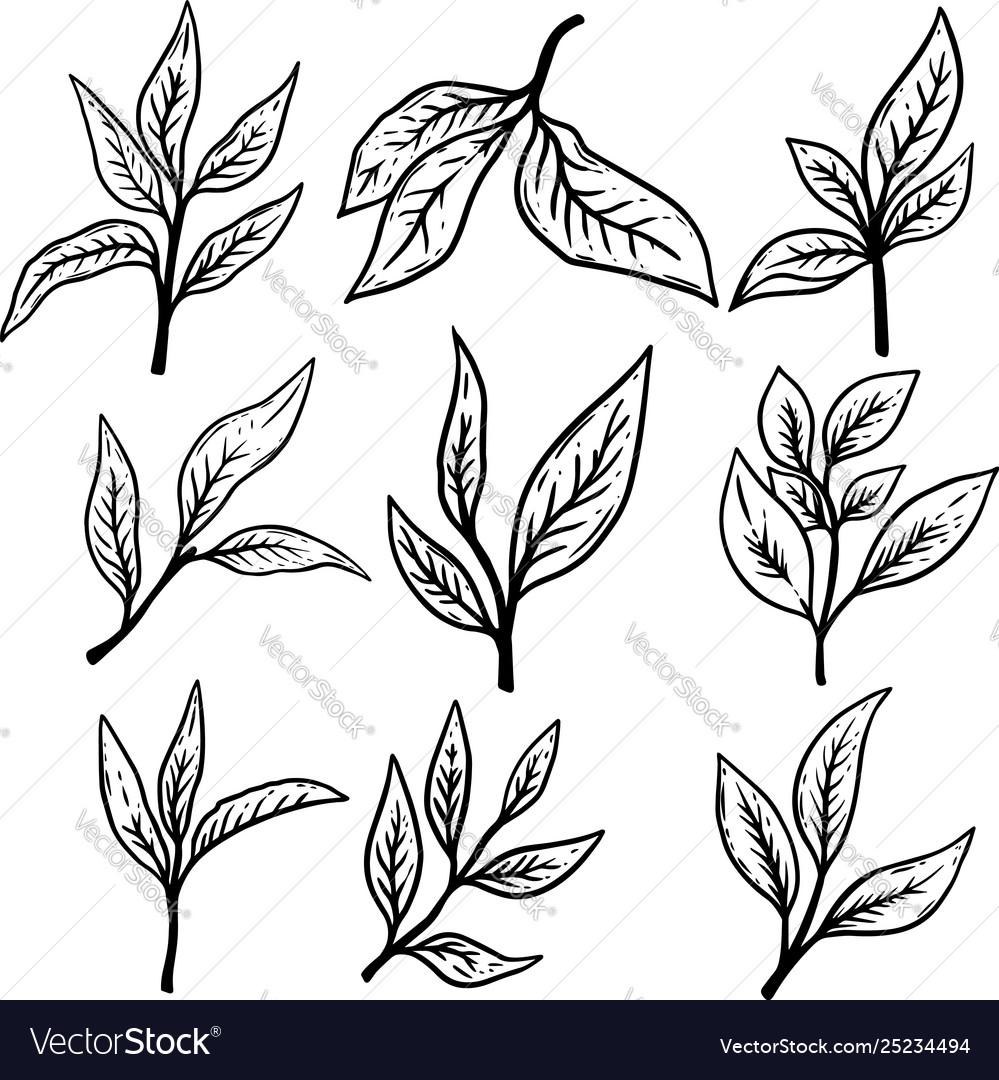 Set hand drawn tea leaves design element