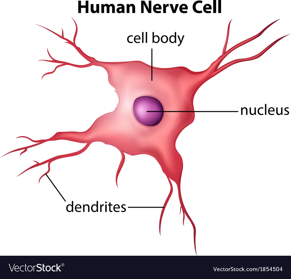 human nerve cell vector 1854504 human nerve cell diagram great installation of wiring diagram \u2022