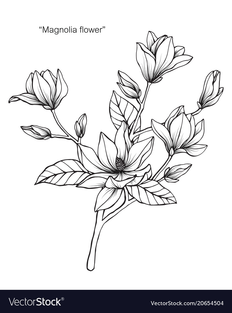 Magnolia Flower Drawing Royalty Free Vector Image