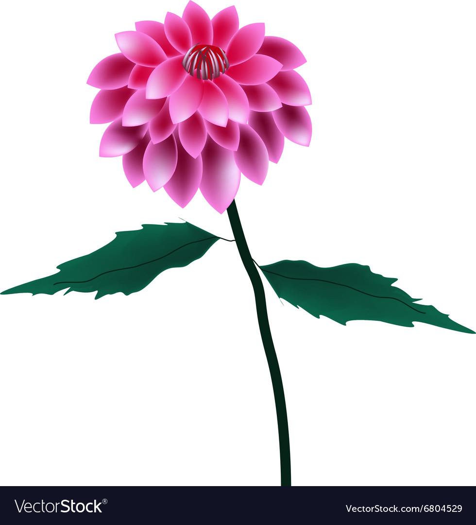 Pink dahlia flower on a white background vector image izmirmasajfo