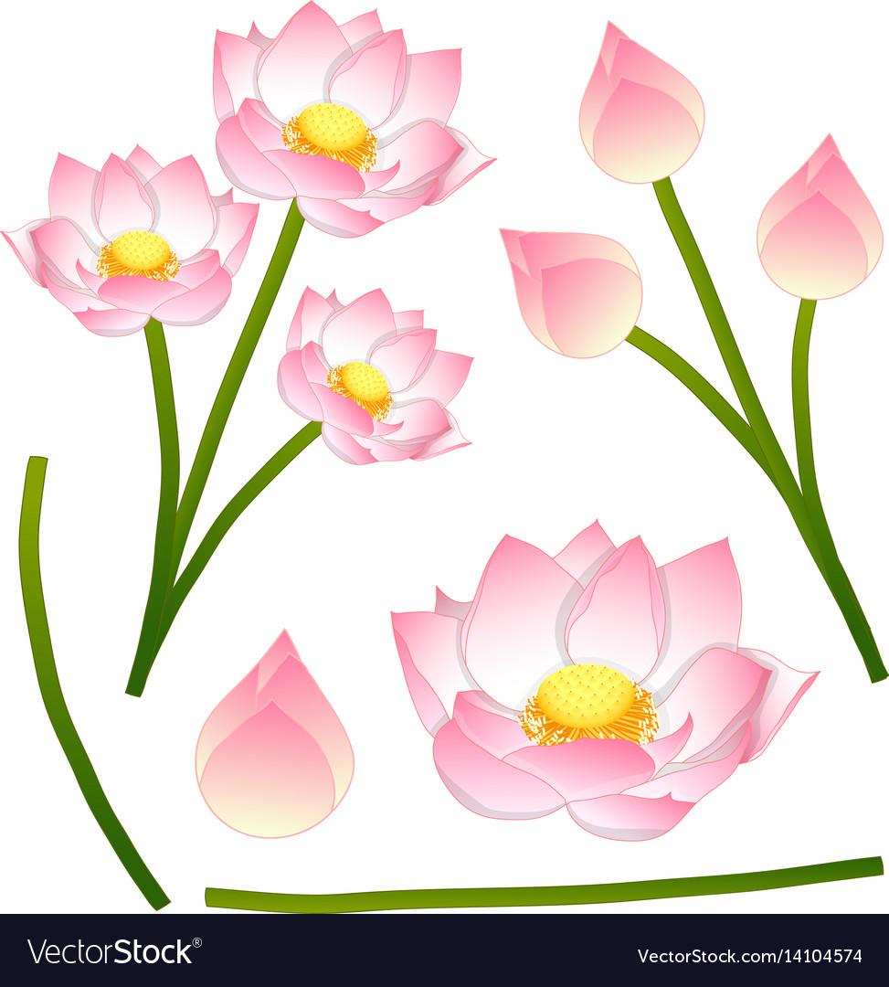 Nelumbo Nucifera Indian Lotus Sacred Lotus Vector Image