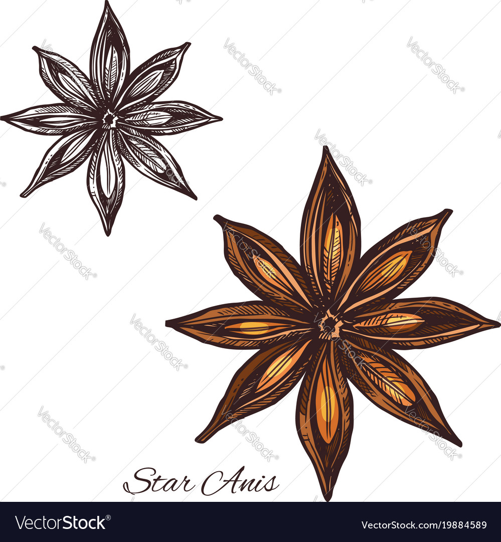 Star anise spice sketch of badian fruit and seed