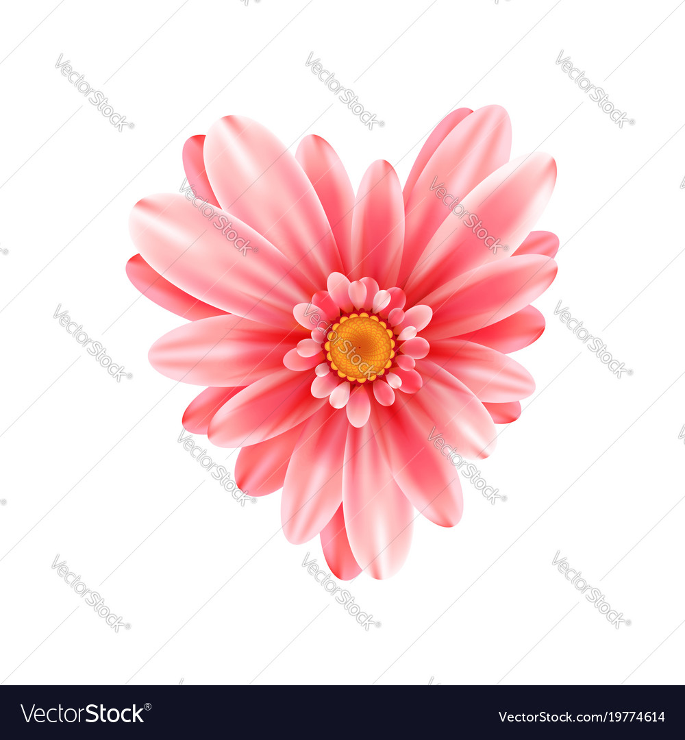 Gerbera Flower Heart Isolated On White Background Vector Image