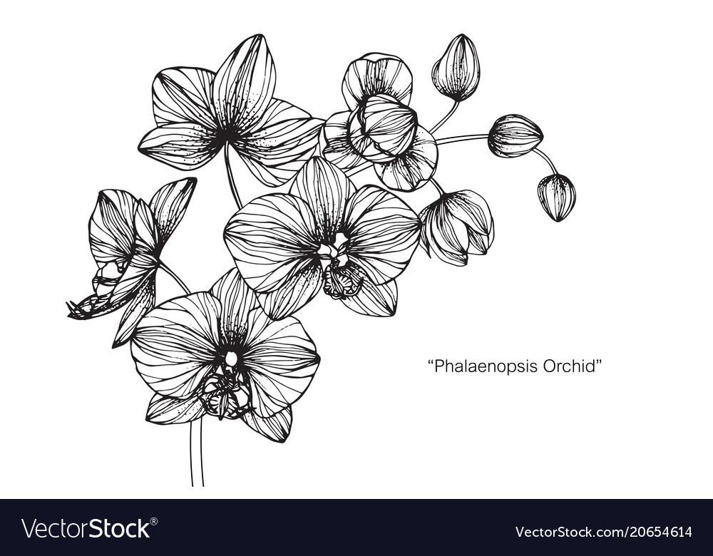 Orchid flower drawing vector image