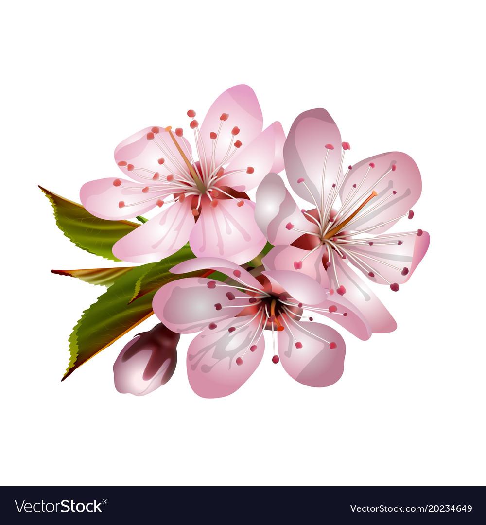 Spring Pink Sakura Blossoms Royalty Free Vector Image