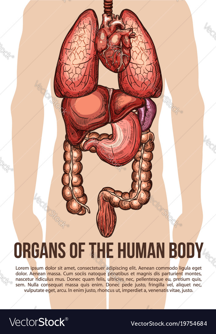 Human organs body system sketch poster Royalty Free Vector