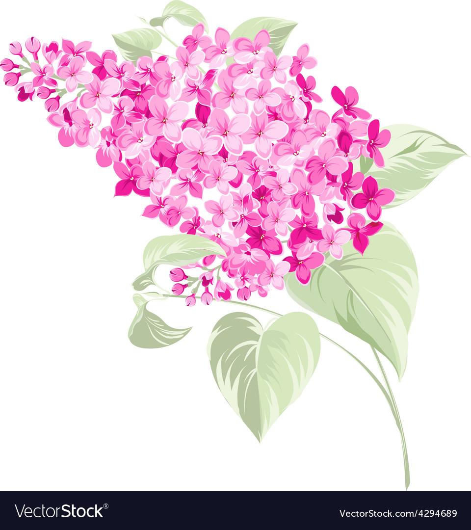 Spring syringa flowers background vector image
