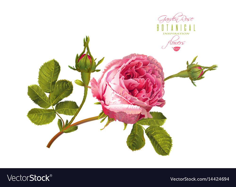 Rose realistic vector image