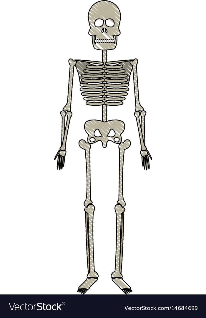 Drawing Skeleton Human Bones Skull Medicine Vector Image
