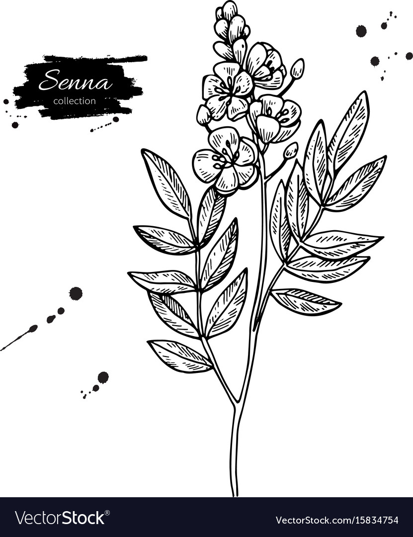 Senna drawing isolated medical flower and
