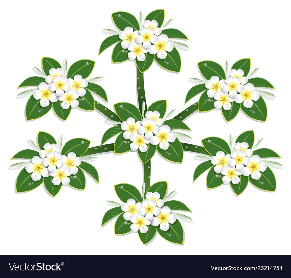 98937ce33 Yelow plumeria flower tree top view draw on white Vector Image