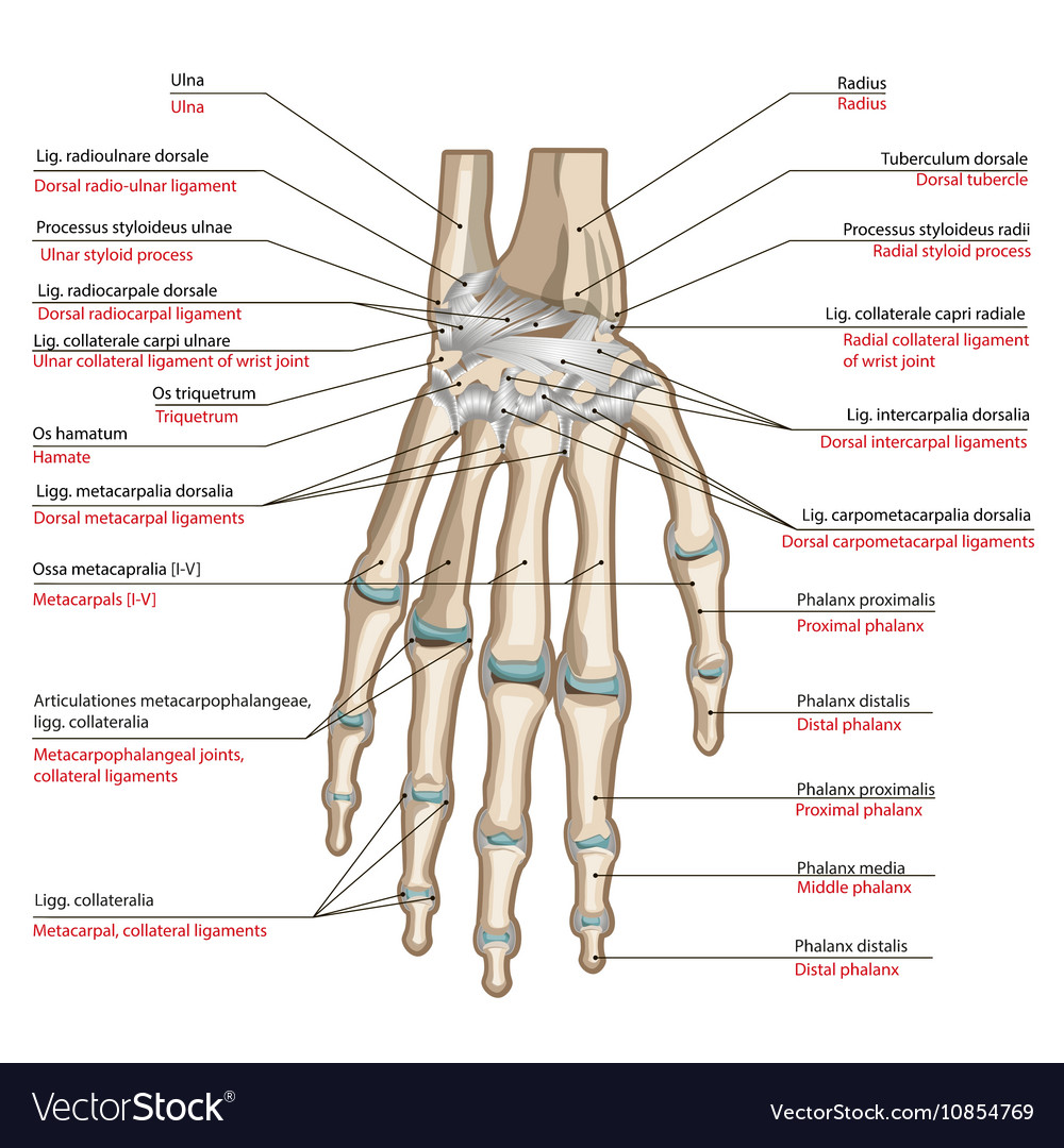 Ligaments Of The Hand Royalty Free Vector Image