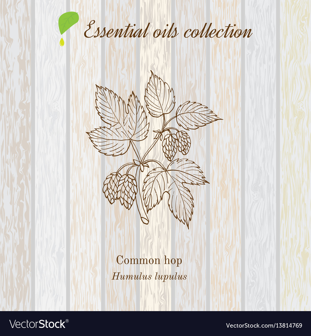 Pure essential oil collection hop wooden texture