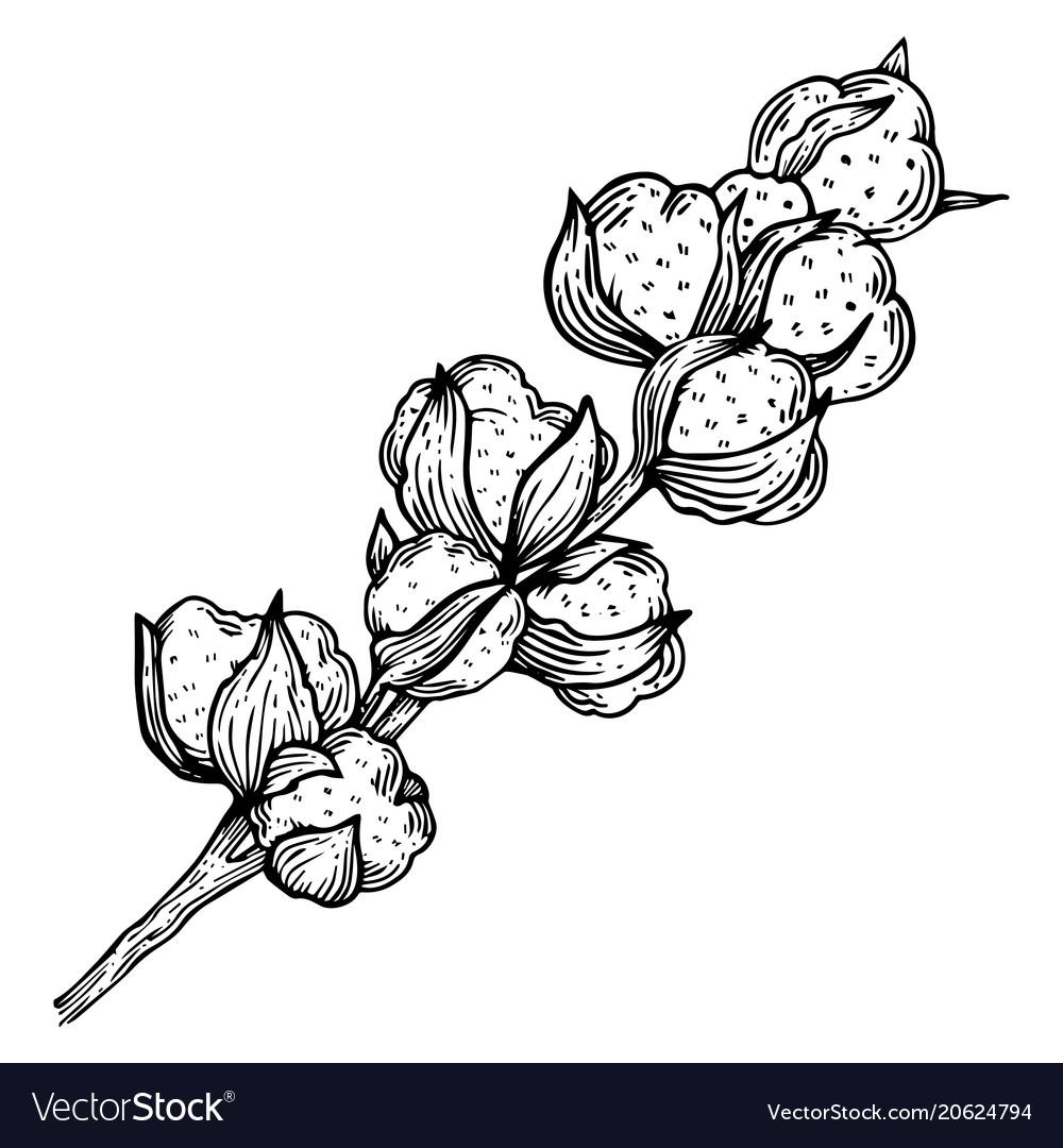 Cotton plant engraving