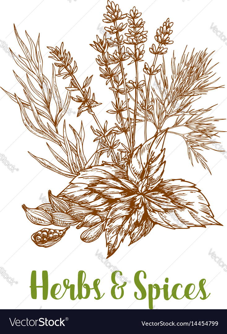 Herbs and herbal spices sketch vector image