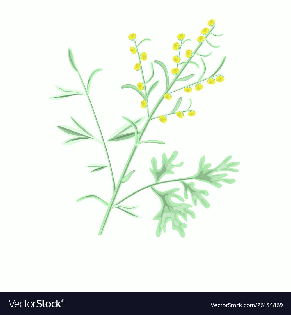 Wormwood Herbartemisia Absinthium Vector Image