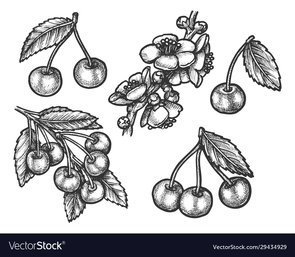 Cherry hand drawn sketch farm and forest fruits