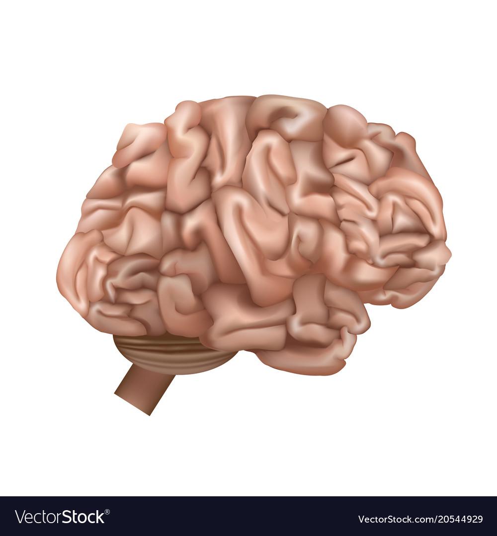 realistic detailed 3d human brain internal organ vector image3d Human Brain Brain #6