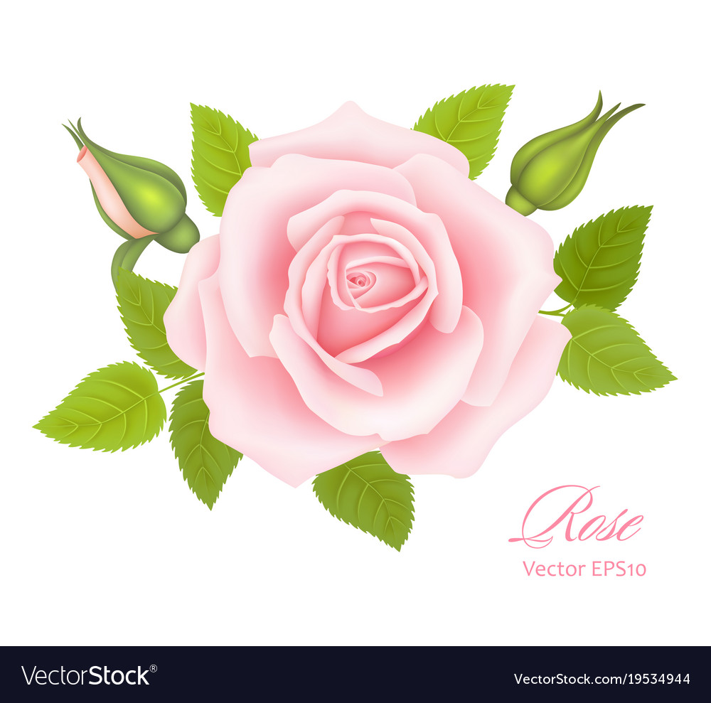 White background with a pink rose flower vector image mightylinksfo