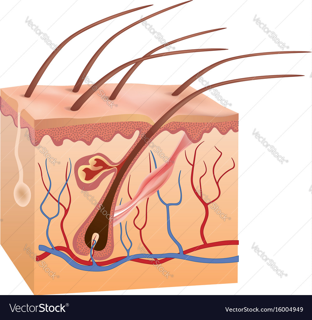 Human Skin And Hair Structure Anatomy Sign Beauty Vector Image