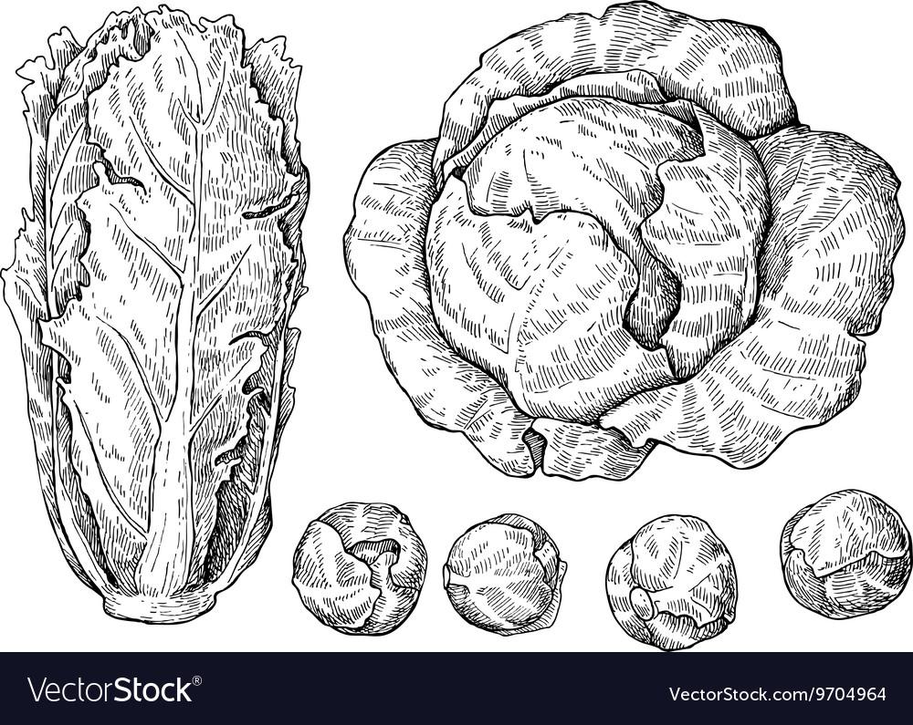 Cabbage hand drawn set