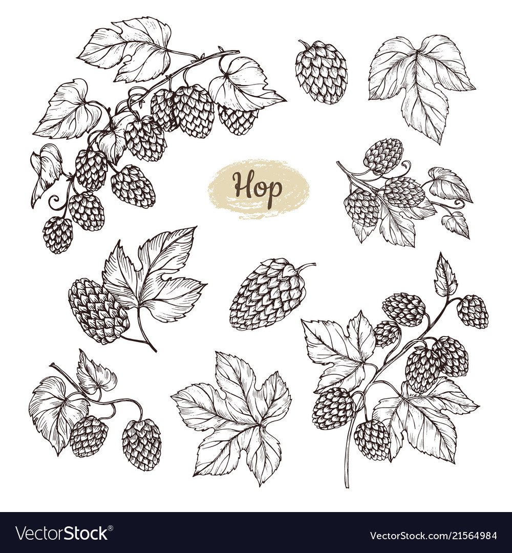 Hop plant branch with leaves and lump of hops in