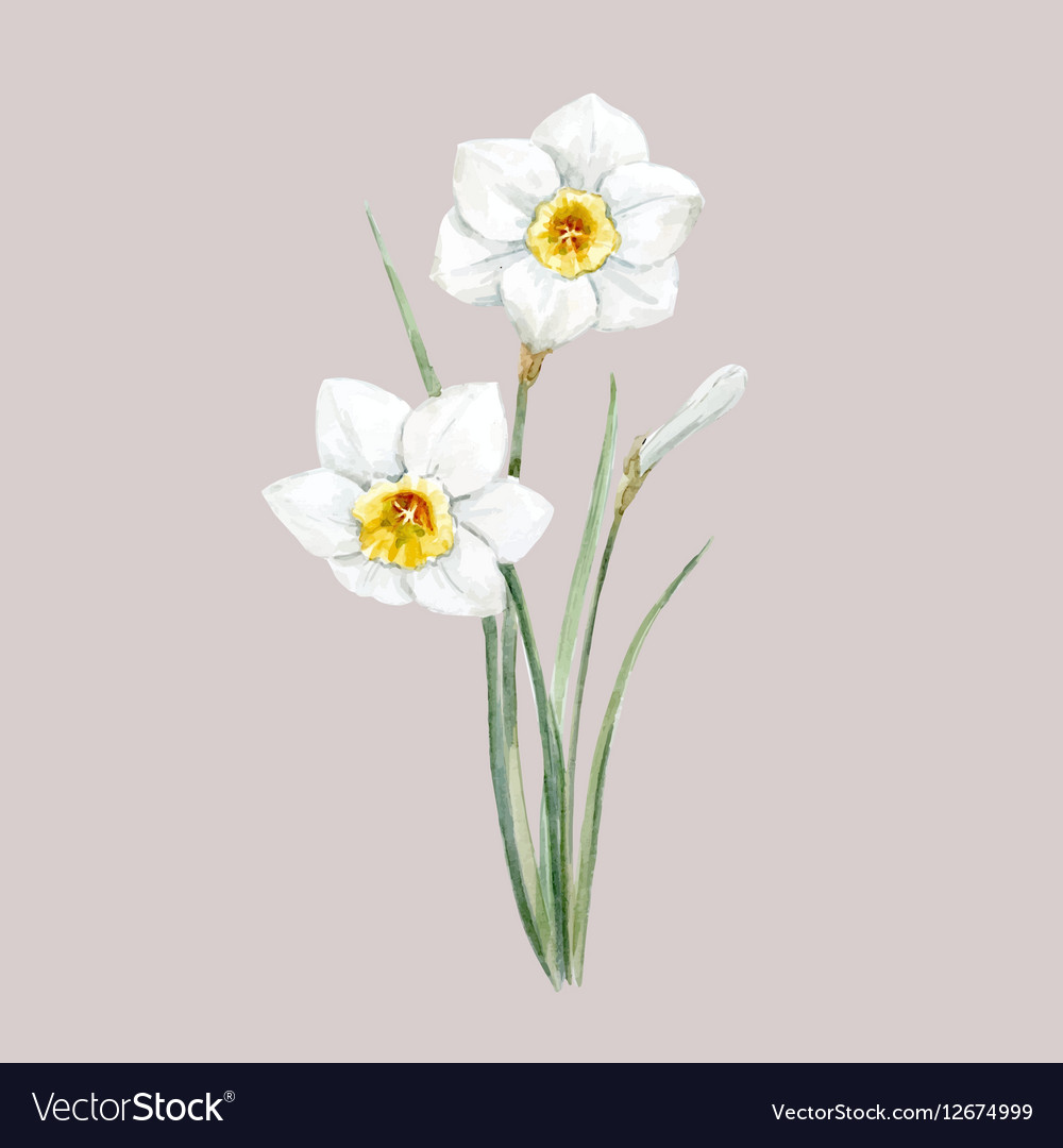 Watercolor white daffodil flower royalty free vector image watercolor white daffodil flower vector image mightylinksfo