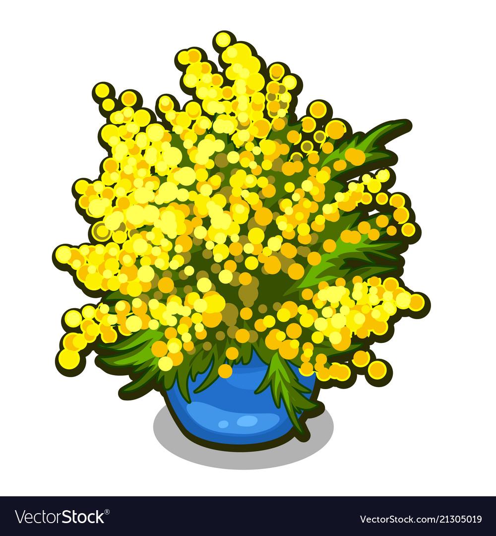 Bouquet of mimosa in blue flowerpot spring