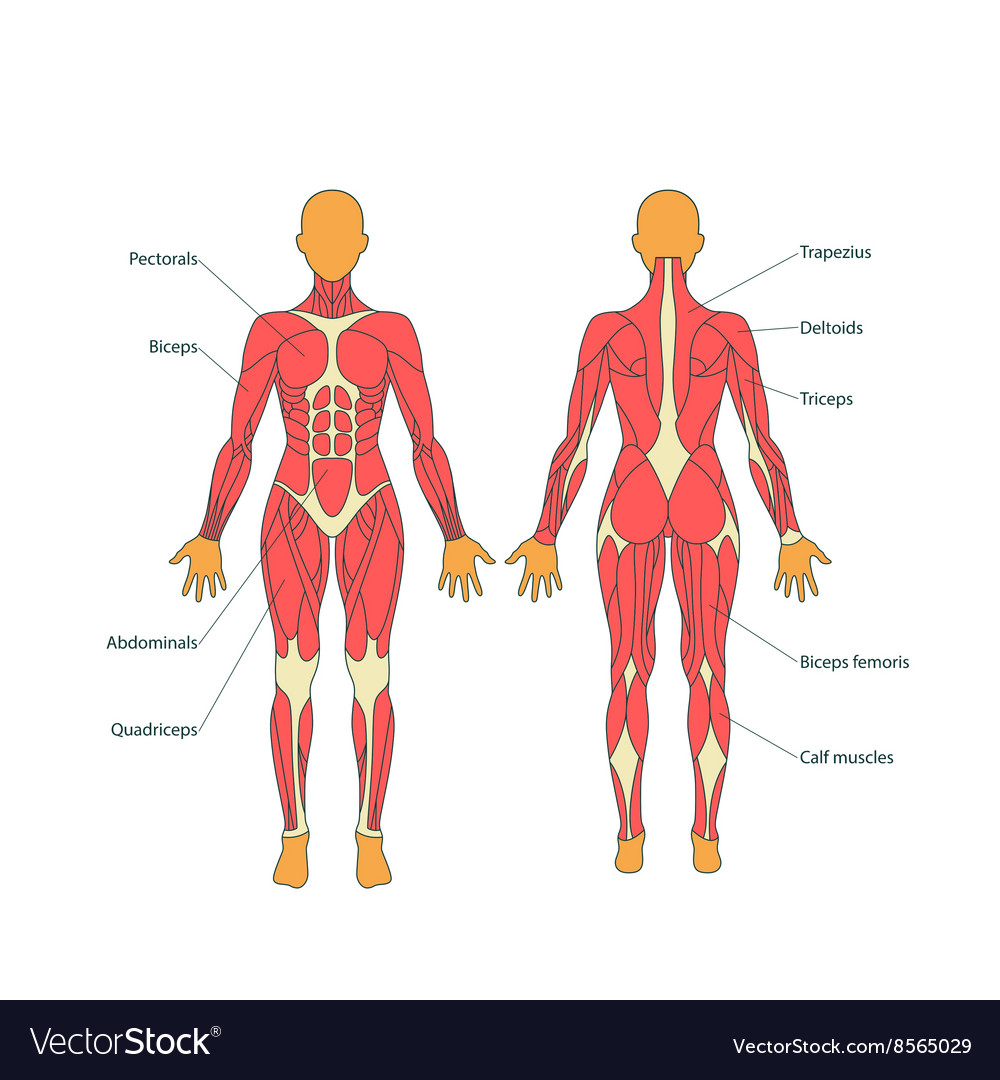 Human muscles The female body Royalty Free Vector Image