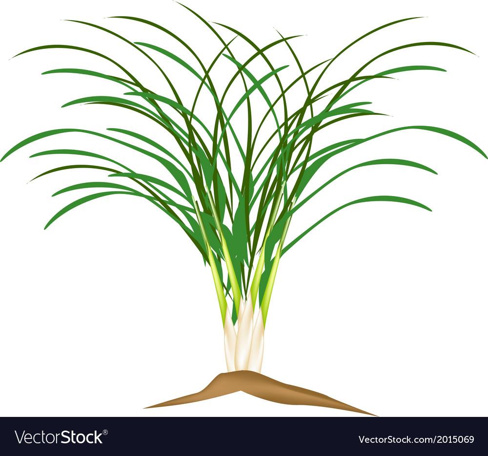 A Fresh Lemon Grass Plant on White Background vector image