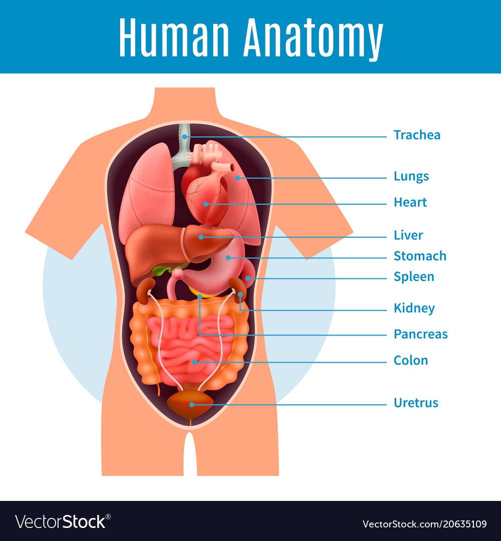 Human anatomy poster Royalty Free Vector Image