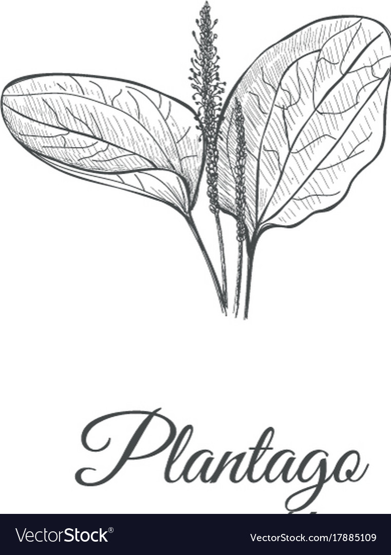 Plantago sketch hand drawing plantain