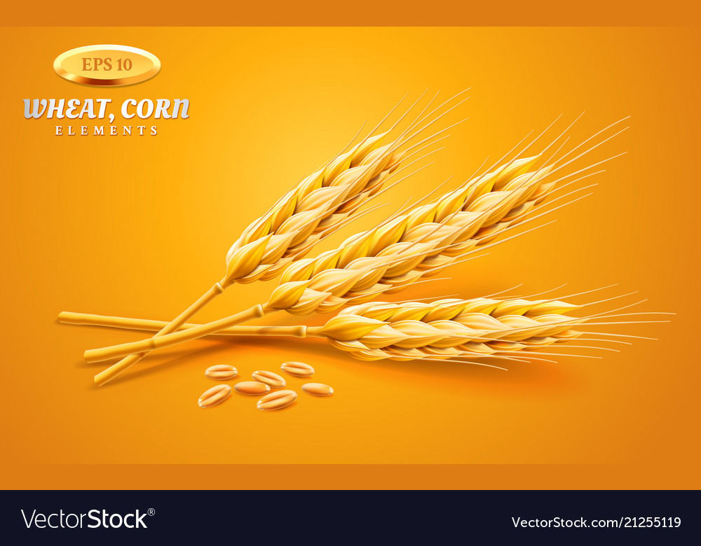 Detailed wheat ears oats or barley isolated on a