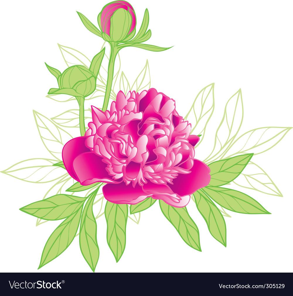 Peony flower vector image
