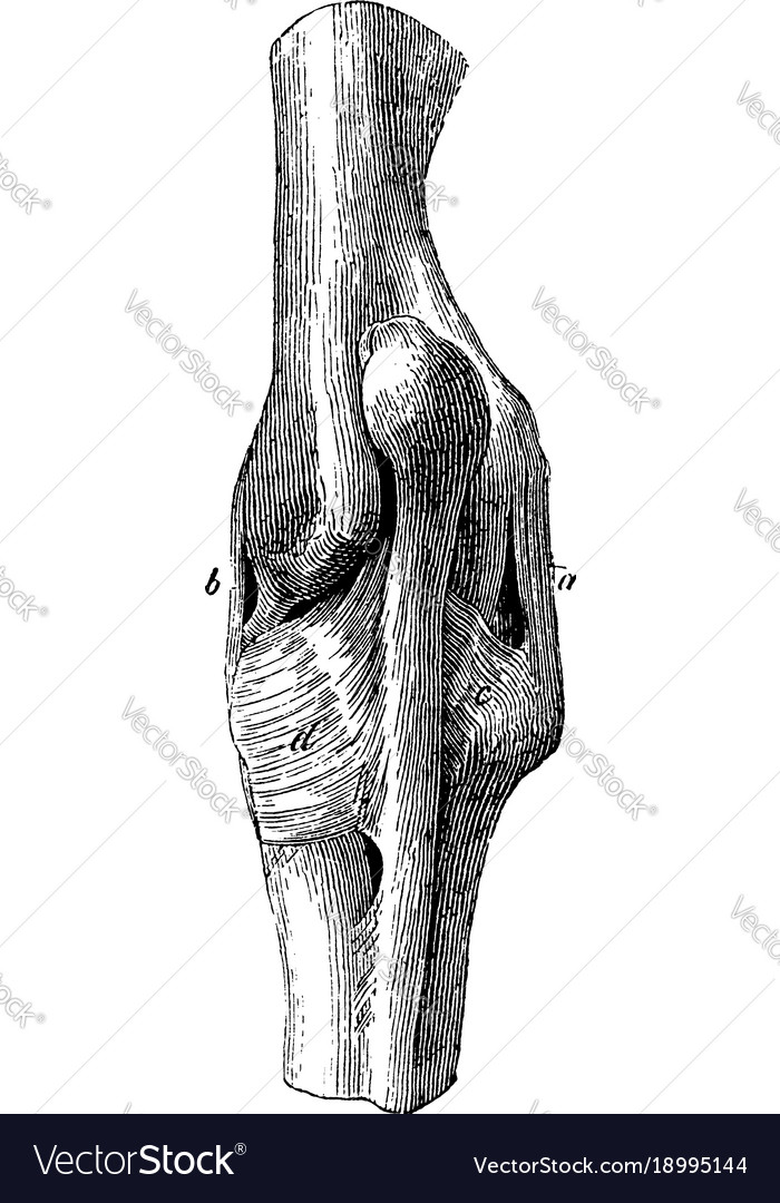 Ligaments Of The Elbow Joint Vintage Royalty Free Vector