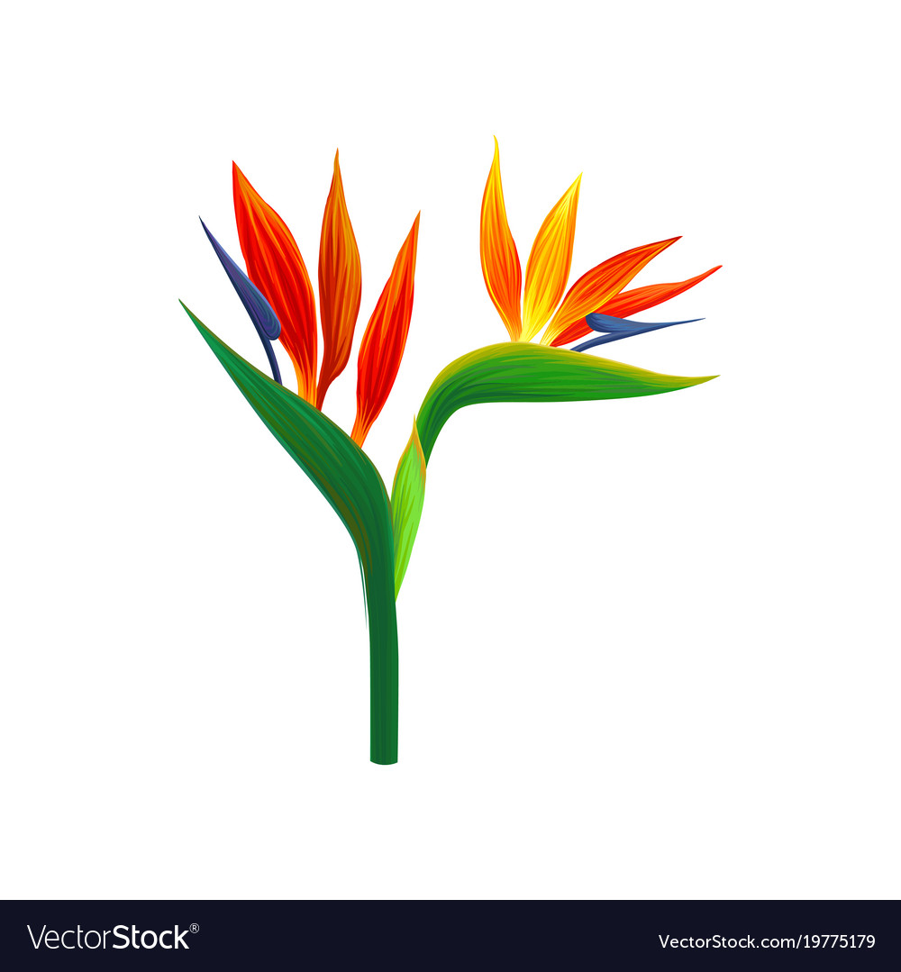 bird of paradise flowers royalty free vector image